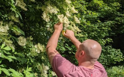 Elderflower is in season – test-brewing our LPA